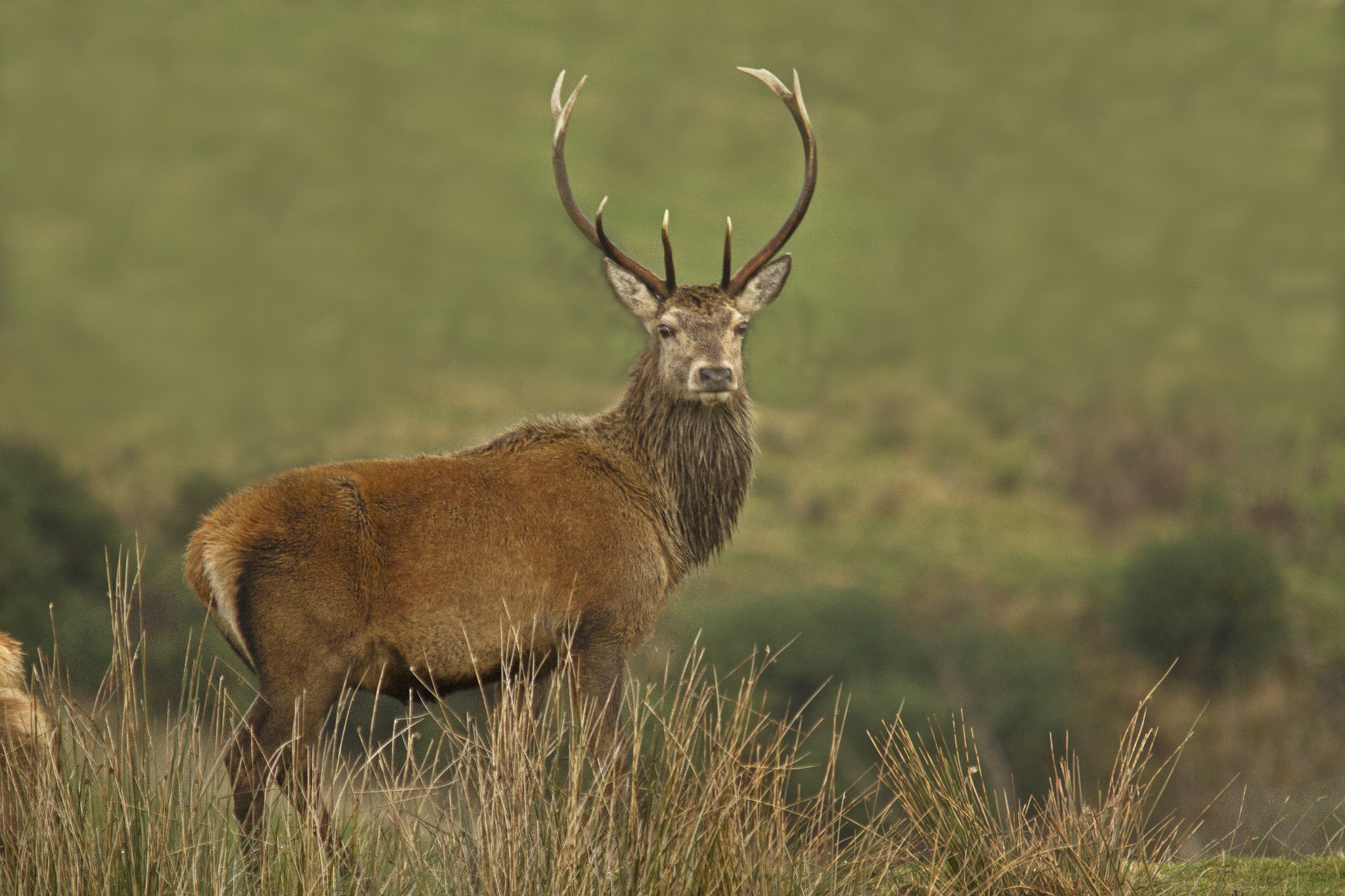 red deer looking at photographer in Killarney National Park